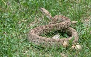 Ellen Rattlesnake