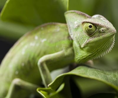 Ellen: World's Smallest Chameleon