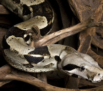 San Diego Zoo Boa Constrictor: Live With Kelly
