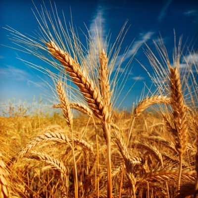 Dr Oz: What is Frankenwheat? Weight Bias Obesity Experiment + Energy