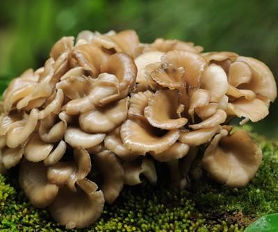Maitake Mushroom Extract: Dr Oz