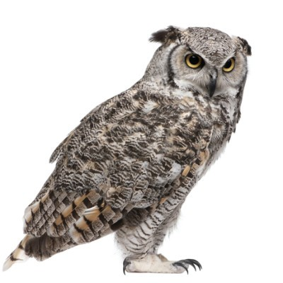 Eagle Owl Nocturnal Animals: Live With Kelly
