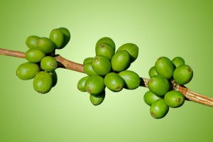 Dr Oz: Green Coffee Bean Extract Reviews - Fat Burner That Works?