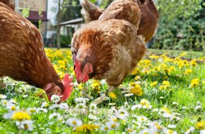 Dr Oz: Beware of Free Range Labels & Buy Animal Welfare Approved Meat