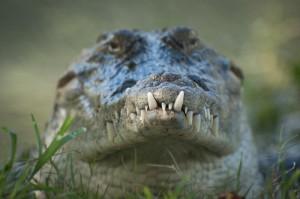 60 Minutes: African Nile Crocodile Diving In Okavango Delta & Croc DNA