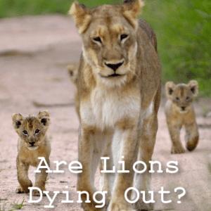 60 Minutes: Lioness Ma Di Tau Update & Super Lions Wild Behavior