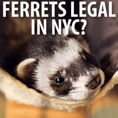 Late Show: Are Ferrets Legal in New York? Watery Mustard + Clippers Sale