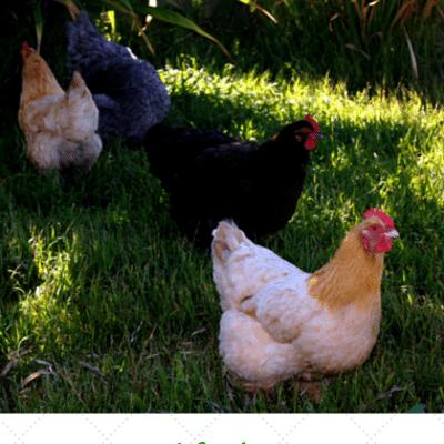 finding-chicken-