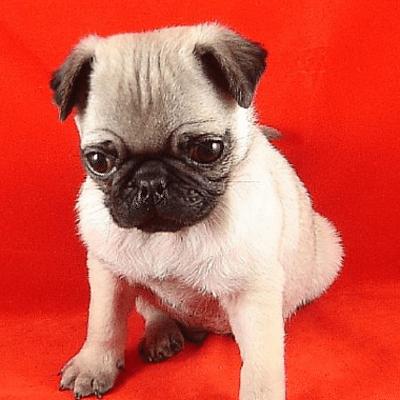microchip-puppy-