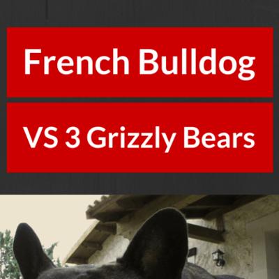french-bulldog-vs-bears-
